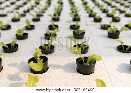 Hydroponics Farm ,young Lettuce With Organic Hydroponic Vegetable Garden At Greenhouse.