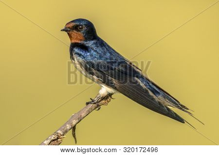 European Barn Swallow (hirundo Rustica) Perched On Stick With Beatiful Yellow Savannah Background