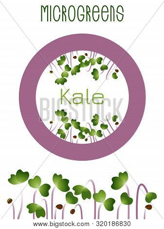 Microgreens Kale. Seed Packaging Design, Round Element In The Center. Sprouting Seeds Of A Plant. Vi