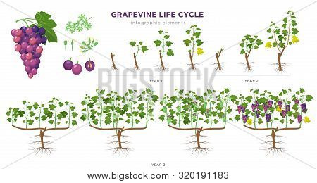Grapevine Growing Stages Infographic Elements In Flat Design. Planting Process Of Grape 1 - 3 Years