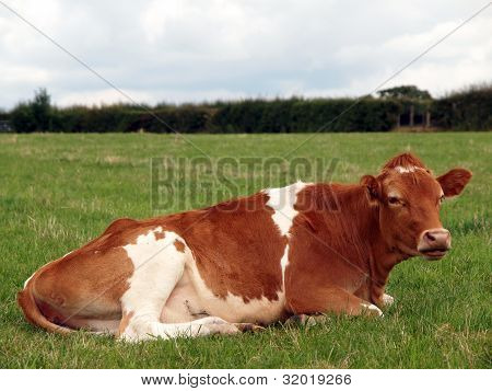 Guernsey Cow Resting