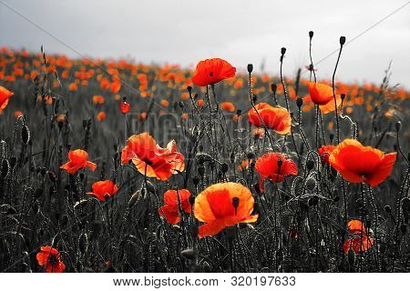 Beautiful Poppies On Black And White Background. Flowers Red Poppies Blossom On Wild Field. Beautifu