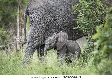Baby African Bush Elephant Portected My Mother In Kruger National Park, South Africa ; Specie Loxodo