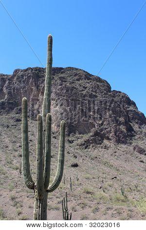 Cacto Saguaro, no Parque