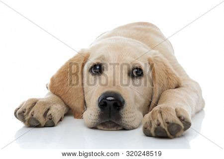 sad little labrador retriever puppy dog lying head between paws on white background