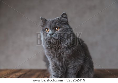 seated on wood little British Longhair cat with gray fur looking away indifferently on gray studio background poster