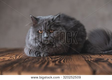 lying down on wood tiny British Longhair with gray fur looking at the camera curiously on gray studio background poster