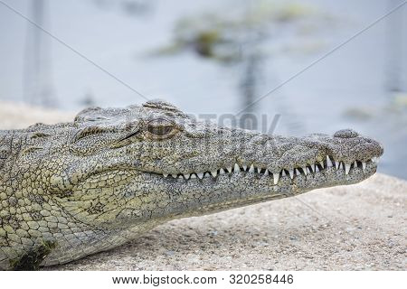 Nile Crocodile Portrait In Kruger National Park, South Africa ; Specie Crocodylus Niloticus Family O