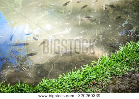Grass On Waterside With Fish Swimming In Pond