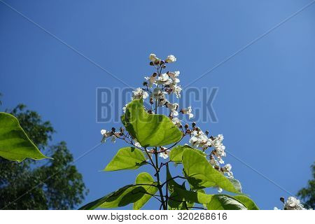 Panicle Of White Flowers Of Catalpa Against Blue Sky