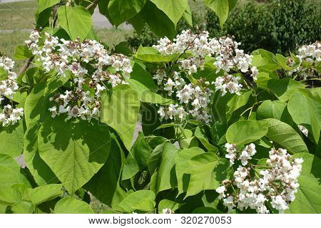White Flowers In The Leafage Of Catalpa Tree