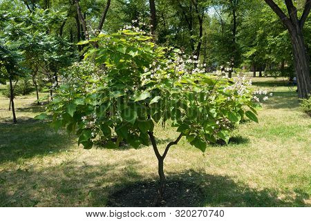 Young Catalpa Tree In Bloom In June