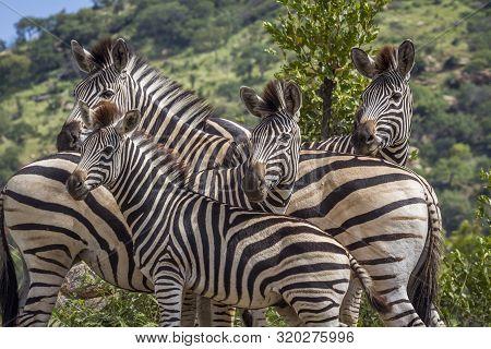 Family Portrait Of Plains Zebras In Kruger National Park, South Africa ; Specie Equus Quagga Burchel