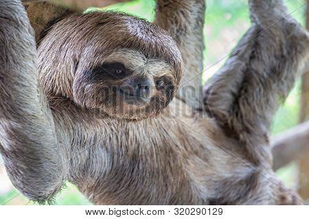 Brown-throated Sloth, Slow Animal (bradypus Variegatus), Animal Face Close Up. Sloth Hangs On A Tree