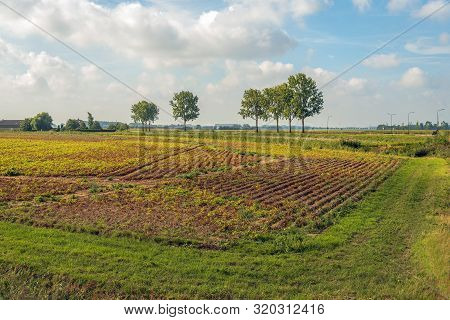 It Is Time To Harvest The Potatoes. Dutch Agricultural Landscape With  Withered Potato Leaves. The P