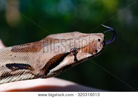 Boa Constrictor Imperator Normal Is Creeping. The Snake Is Coiling. Exotic Animals In A Habitat. The
