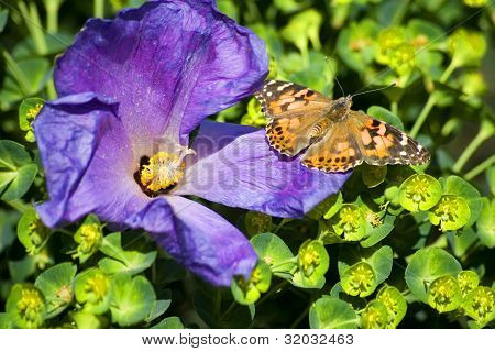 Painted Lady and Hibiscus
