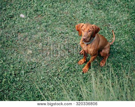 Hungarian vizsla. Young Hungarian pointer dog outdoor.