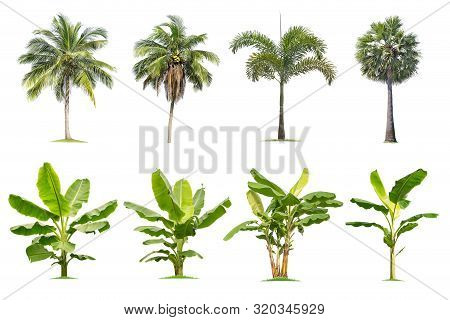 Coconut And Palm,banana Trees Isolated Tree On White Background , Tropical Trees Isolated Used For D