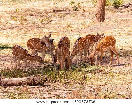 Herd Of Cheetal Also Known As Spotted Deer Or Axis Deer Grazing In The Forest