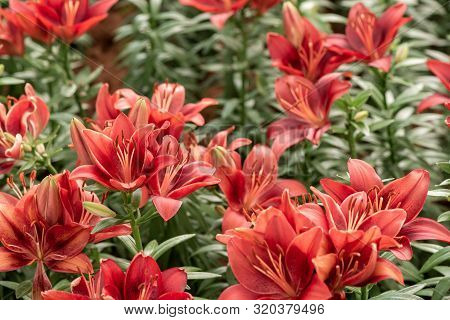 Lily Flowers. Beautiful Lily Flower In Lily Flower Garden. Lily Lilium Hybrids Flower. Lily Flower.