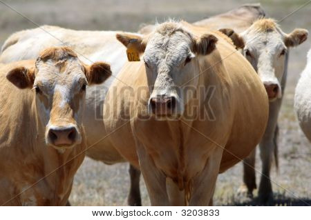 Pregnant Country Cows