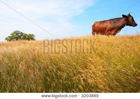Cow Basking