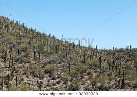 Beautiful desert landscape with Saguaro cactus.