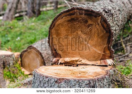 Deforested Area In A Forest With Cutted Trees In Tatras, Poland. Felling The Trees. Close Up Of Cut