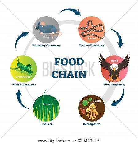 Food Chain Vector Illustration. Labeled Nature Eating Model Circle Scheme. Educational Diagram With