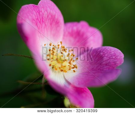 Rosa Rugosa, Close-up Of The Pink Flower, Petals, Anthers, Filaments, And Stamens