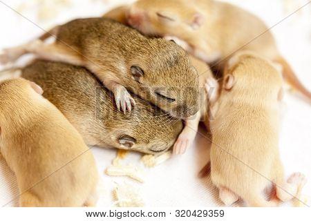 Newborn Cute Mice Babies Sleeping Huddled Together. Close Up, Macro Image.