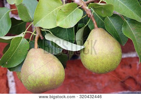 Two Dessert Pears, Pyrus Communis, Of The Variety Doyenne Du Comice Hanging On A Tree With Leaves An