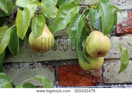 Three Dessert Pears, Pyrus Communis, Of The Variety Doyenne Du Comice Hanging On A Tree With Leaves