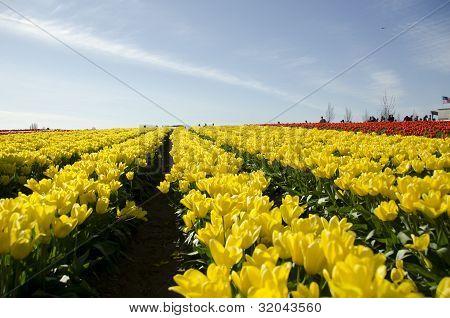 Field Of Tulips Field