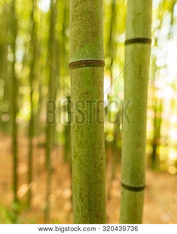 Bamboo Grows In The Park. Nature In The Subtropics