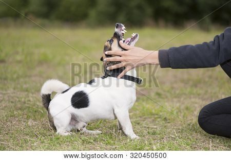 The Aggressive Angry Dog And Female Owner Are In Outdoors.