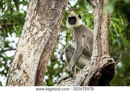 Gray Langurs, Sacred Langurs, Indian Langurs Or Hanuman Langurs Are A Group Of Old World Monkeys Nat