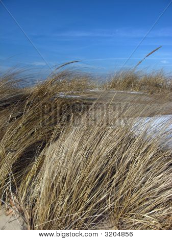 Beach Grass In Winter