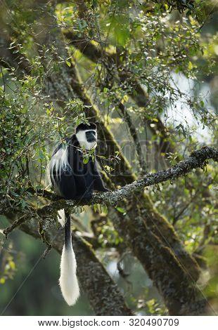 Mantled Guereza (colobus Guereza) Monkey In Harenna Forest. Bale Mountains National Park, Ethiopia.