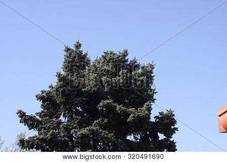 This Is An Image Of The Top Of A Blue Spruce Tree.