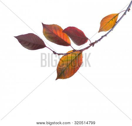 Cherry branch with colorful  autumn leaves isolated on white background. Prunus cerasus