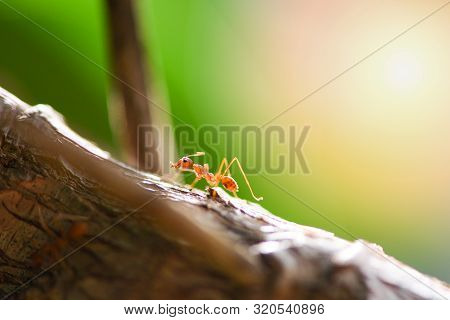 Ant Action Standing On Tree Branch In The Morning / Close Up Fire Ant Walk Macro Shot Insect In Natu