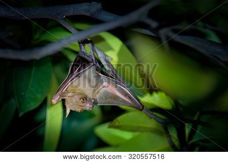 Lesser Short-nosed Fruit Bat - Cynopterus Brachyotis  Species Of Megabat Within The Family Pteropodi