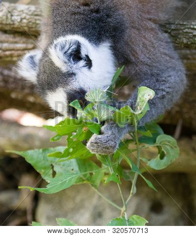 Ring-tailed Lemur, Lemur Catta, Searching For Food