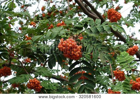 Fruits In The Leafage Of Sorbus Aucuparia In September