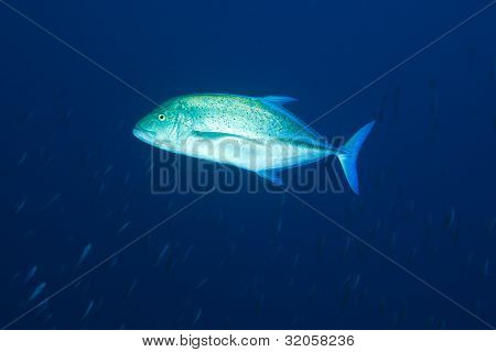 Blue-fin trevally (caranx Melampygus) in waters of Maldives poster