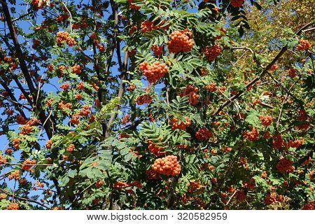 Mant Orange Berries On Branches Of Sorbus Aucuparia Against Blue Sky