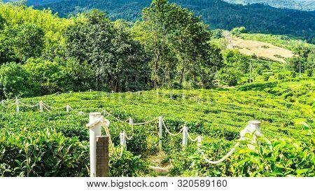 Green Landscape Of Garden Where Tea Is Produce In Sabah. Sabah Tea Garden In Ranau, Sabah.