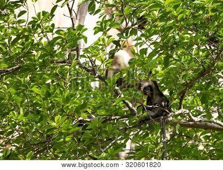 Spectacled langur sitting in a tree, Tonsai beach, Krabi, Thailand